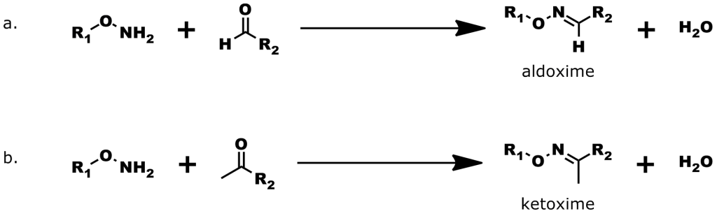 Figure 4: Formation of Oxime Bonds. a. The reaction of an alkoxyamine with an aldehyde forms an aldoxime. b. The reaction of an alkoxyamine with a ketone forms a ketoxime.