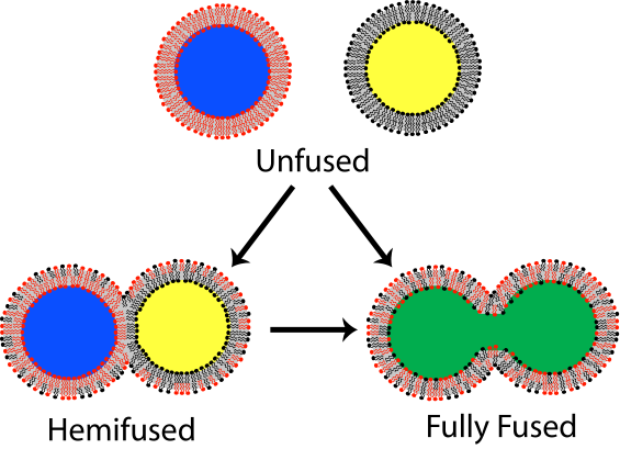 FIgure 1 shows the process of lipid bilayer fusion such as is found in cell membrane fusion and vesicle fusion.