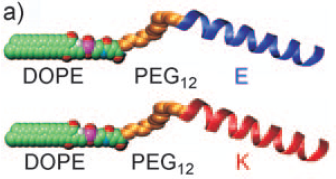 Figure 1: Structure of the DOPE-PEG12-LPE/LPK lipidated oligopeptides used to study liposome fusion.