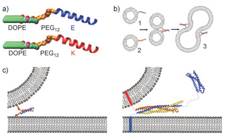 Figure 3: (a) Space-filling model of the two lipidated oligopeptides, LPE and LPK. (b) The two lipidated oligopeptides are spontaneously incorporated into lipid bilayers resulting in liposomes with either LPE or LPK at the surface. When a population of liposomes carrying LPE is mixed with a population of liposomes carrying LPK, the liposomes spontaneously fuse. (c) Diagram showing the fusion of liposomes with the minimal SNARE model of the paper (left) and the SNARE-based protein model (right).