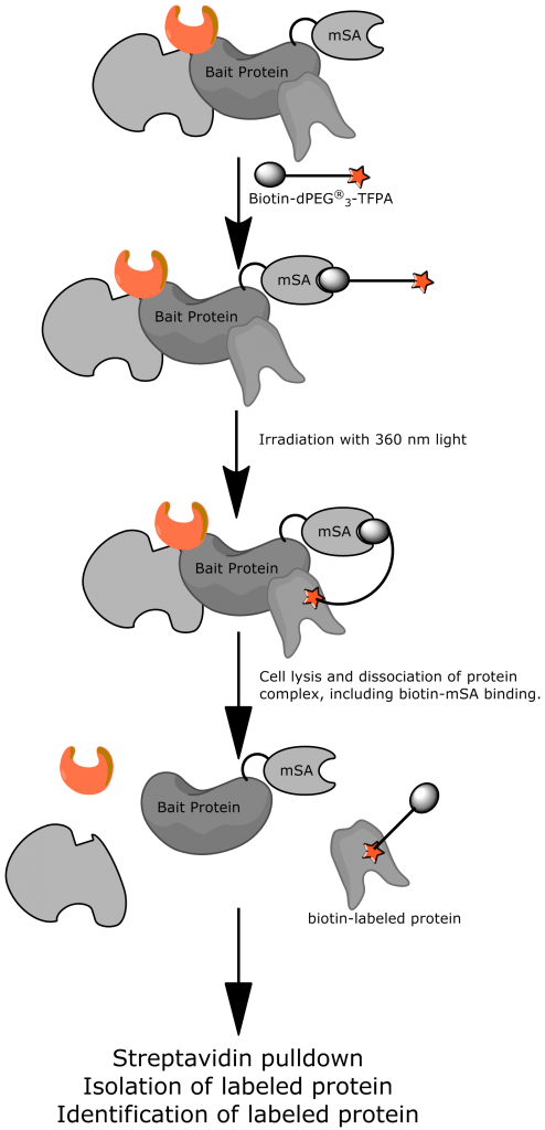 """Figure 1: SA schematic representation of the photoaffinity biotinylation protocol known as """"Photoactivated In Vivo Proximity Labeling"""" using PN10308, Biotin-dPEG®3-TFPA."""