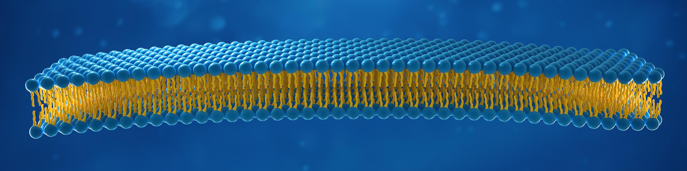 lipid bilayer image 2